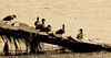 Ducks in sepia (Merrillie) Tags: natural nikon nature australia birds d5500 nswcentralcoast newsouthwales water wharf nsw animals ramp wildlife centralcoastnsw sepia longjetty photography landscape outdoors waterscape fauna centralcoast ducks outdoor lake tuggerahlake