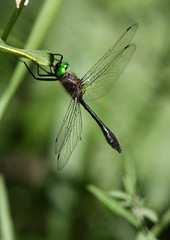 Racket-tailed emerald Dorocordulia libera (mat425) Tags: seneynwr michigan dragonfly green eyes bronze beautiful