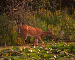 Morning Dip (larry kapellusch) Tags: deer whitetail nature wildlife