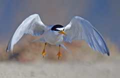 Least Tern (Thy Photography) Tags: leasttern wildlife bird animal nature outdoor photography c