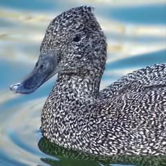 How do you like my new tweed coat? (AngelVibePhotography) Tags: animal birds nature nikon outdoor duck ducks nikonp900 closeup freckledduck bird