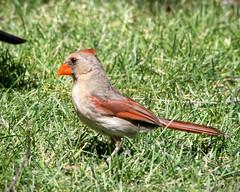 Female Cardinal (Eric Shwonek) Tags: shwonek nature wildlife outdoors birds cardinal femalecardinal birdsofwisconsin