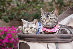 cat #1373 (K-nekoTR) Tags:  cat americanshorthair beautiful cute kitty pretty pet animal japan japanese sony