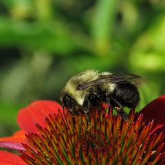 gathering pollen (mimbrava) Tags: bumblebee coneflower echinaceapurpureabutterflyrainbowmarcella arr allrightsreserved mimeisenberg mimbrava mimbravastudio