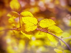 (s.lang534) Tags: natur nahaufnahmen nature pflanzen plant olympuse520 outdoor explore soft herbstfarben