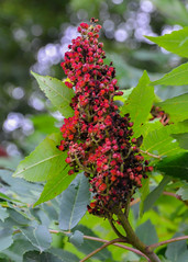 DSC_1109 edited-246 (pattyg24) Tags: horicon playfulgoosecampground sumac wisconsin berries nature plant tree