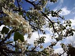 DSC08189 (anastasia_ania) Tags: trees tree green flowers flower landscape sky bluewhite blue white smell odour park parc athens greece