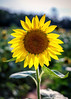 Stainding Tall (Karol A Olson) Tags: sunflowers flowers mckeebesher poolesville maryland hot humid nature jul16