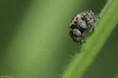 Salticide 3 (ultimumpicture) Tags: nature macro nikon 105mm 90mm tamron vert bokeh animaux insecte araignée salticide
