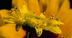 the show (skeem125) Tags: flowers yellow drops reflections fineart water waterdrops nature macro focusstacking