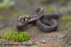 Amphiesma beddomei (2) (Chaitanya Shukla) Tags: amboli amboli201607 amphiesmabeddomei beddomeskeelback colubridae macro maharashtra reptilesandamphibiansofindia sindhudurga snakesofindia typicalsnakes india in