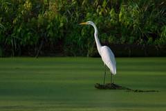 (Jacqueline C. Verdun) Tags: snwr great egret bird white green swamp marsh algae