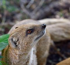 Mongoose (xaositect) Tags: mongoose panasonic gx8 olympus cute