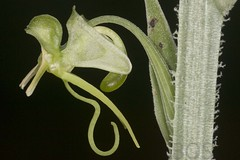 Habenaria malleifera (Pterodactylus69) Tags: orchidee orchid orquidea orchidaceae monocot botanic garden botanischer garten herrenhuser grten herrenhausen gardens berggarten flower flor fleur blte botanik botany botanica