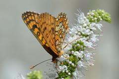Poo da Broca, Serra da Estrela (Carlos Pinto 73) Tags: poo broca serra estrela butterfly