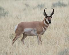 pronghorn antelope (jimbobphoto) Tags: antelope montana prairie horn grass grasslands