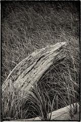 Lake Grass (59roadking - Jim Johnston) Tags: ifttt 500px grass wood driftwood black white texture lakeshore
