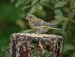 Greenfinch (penlea1954) Tags: dumfries galloway scotland uk garden bird birds dumfriesshire greenfince green finch