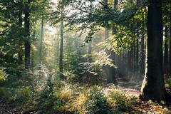 Sonnenschein (Kevin Kistermann) Tags: sunset sun autum aachen eifel eifelexplorers roam germany deutschland wald wood woods bume tree fog nebel landscape landschaft