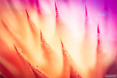 The color (Anneke Jager) Tags: annekejager macro color colors colorful sfeer moody flower fineart abstract pastel