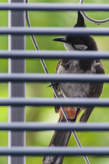 red-whiskered bulbul (arcibald) Tags: pycnonotusjocosus redwhiskeredbulbul bulbul bird birds aves window vientiane laos laopdr