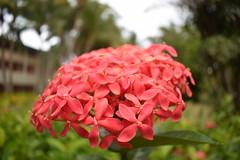 flor de cada dia (bastianmoraga) Tags: nikond3300 flora rosa puntacana