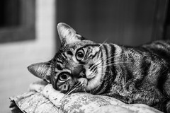 _DSC0296 (Federico_Lucietto_Photography) Tags: cat kessy black white bw bianco nero gatto relax sleep