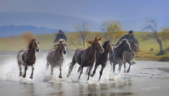 sprint (Albert Photo) Tags: rush sprint group innermongolia china horses gallop spur groom housekeeper ride run speed flee runaway power wild free outdoor animal