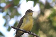 Yellow-bellied Greenbul (Bird Aficionado Stan) Tags: phinda phindaprivategamereserve africanbird southafricanbird greenbul yellowbelliedgreenbul bulbul yellowbelliedbulbul