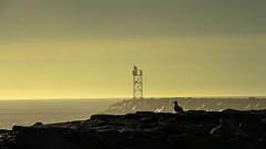 Turf (Bud in Wells, Maine) Tags: wellsbeach maine morning gull breakwater newengland coast silhouette