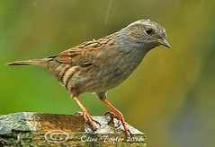 Dunnock (Olive Taylor. Thank you for your visit.) Tags: dunnock birds beaks wildlife nature northumberland northeastengland feathers canon