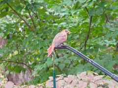 cardinal female (loire61) Tags: cardinal