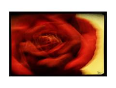 Clímax... (ángel mateo) Tags: ángelmartínmateo ángelmateo flor rosa orgasmo imaginación rojo red amarillo yellow orgasm pink flower imagination clímax climax