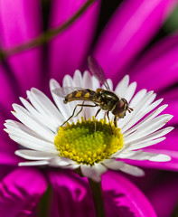 Hoverfly #1 - Syrphidae (AWLancaster) Tags: insect fly wings canon canonmacro macrophotography flowers colors colourfulflowers petals lightroom lightroomcc