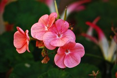 3571 Pink Geranium (Andy - Daft as a brush - don't ask!) Tags: 20161012 fff flower geranium ggg pink ppp