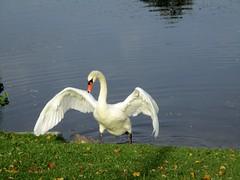 der Schwan lftet seine Schwingen aus, als er an Land kommt (evioletta) Tags: kiel see schwan oktober schwingen weis