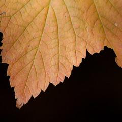 Teeth (Bloui) Tags: 2016 botanicalgarden eos7d jardinbotanique october montral qubec autumn fall leaf orange macro macromondays edge