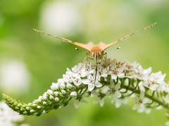 Distelfalter (Vanessa cardui) (gerry_me) Tags: falter distelfalter vanessa cardui schmetterling butterfly makro macro outdoor olympus omdem1