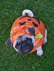 'It's The Great Pumpkin' Boo Lefou (DaPuglet) Tags: pug pumpkin pugs halloween costume dog dogs animals animal puppy puppies cute orange jackolantern pet pets coth5