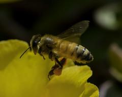 Bee_SAF4175-1 (sara97) Tags: bee flower flyinginsect insect missouri nature outdoors photobysaraannefinke pollinator saintlouis towergrovepark urbanpark wildlife copyright2016saraannefinke