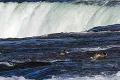 Niagara Geese (Craig Tata) Tags: niagarafalls outside outdoors water nature waterfalls animals americanfalls birds