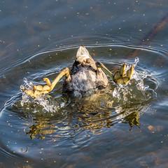 Upside Down (Daniel-Godin) Tags: bloomington mn minnesota minnesotavalleynationalwildliferefuge oldcedaravenuebridge outdoor outdoors wildlife unitedstates us upsidedown eating duck bird birds americancoot water