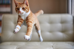 . (rampx) Tags: cat jump action kittens neko   irori miaw