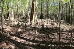 Cypress' root system (daveynin) Tags: trees nps swamp boardwalk congaree baldcypress deaftalent deafoutsidetalent deafoutdoortalent
