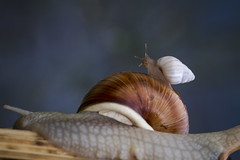 Rodeo (Michel Couprie) Tags: baby france macro nature animal alpes canon eos dof bokeh mother snail 7d michel postprocessing hautesalpes couprie