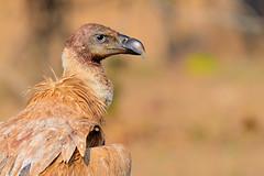 Griffon vulture (Deepak Sankat) Tags: wild portrait india bird nature lens photography wings nikon zoom wildlife sp raptor di mp prey vulture tamron vc usd scavenger manfrotto griffon bhopal gyps fulvus f563 055xprob ultratelephoto d7000 150600mm hd804rc2
