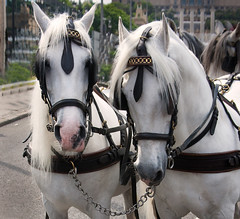 Two horse white heads (Corremontes13) Tags: city wild two horse white nature animal landscape head hillside races mane fittings closely