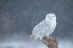 Snowing snowy (alpha_coy2000) Tags: snow animals wildlife owl perch snowing birdsofprey snowyowl