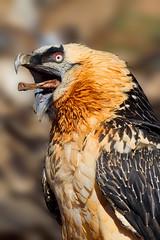 Lammergeier (Gypaetus barbatus) - Sierra de Boumort, Catalonia, Spain. (Dave Barnes Bird Photography) Tags: lammergeier beardedvulture gypaetusbarbatus