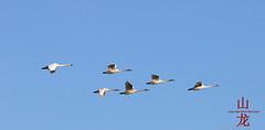 Trumpeter Swans (Cygnus buccinator) (DragonSpeed) Tags: winter canada bird bc delta bif birdsanctuary birdinflight trumpeterswan westhamisland cygnusbuccinator georgecreifelbirdsanctuary